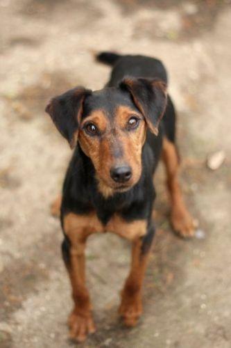 CESAR - x jagd terrier 12 ans  (7 ans de refuge) - AVA à Cuy Saint Fiacre (76) 500_5c6f0d3b30016109bdce102263beb957