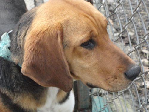 STAN - x beagle 4 ans - Refige Les Oubliés de Saint Beart à Castellsarrasin (82= 500_dc658bc51e2b117013287970ab36705f