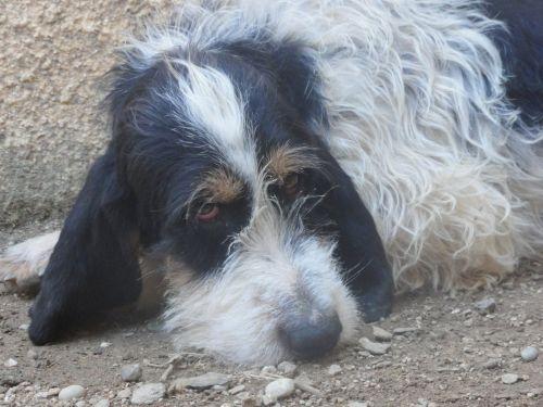 MIKO - x griffon 4 ans - Animaux sans Frontière à Bormes les Mimosas (83) 500_f4b61bc3811da4097683e5790432247f