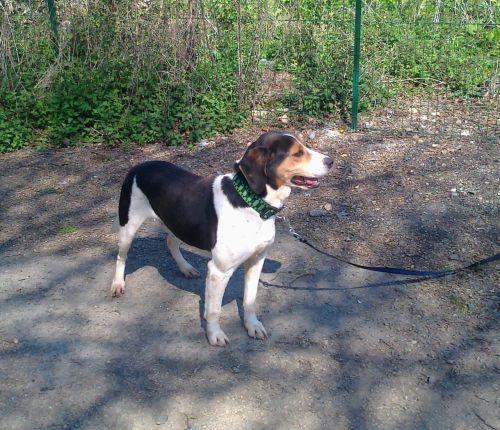 BALOU - beagle harrier 12 ans - Spa de la Mayenne à Laval (53) 500_efd2d9a4efdcce0a29233287e5073f75