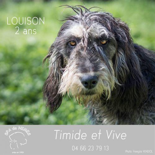 LOUISON - x griffon bleu de Gascogne 6  ans  (5 ans de refuge) - Refuge Spa Les Murailles à Nimes (30) 500_70962e6137f73a889e38ecb2c5c0cf86