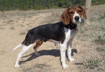 GWAPA - beagle 5 ans - Refuge Saint Roch à Les Baux de Provence (13) 500_647b58588676a798d088851e0af7eb5f