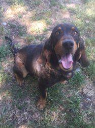 BALOU - x basset hound 11 ans - Refuge de Carros (06 500_fccc6927ad25b59851c23653e14a06fd