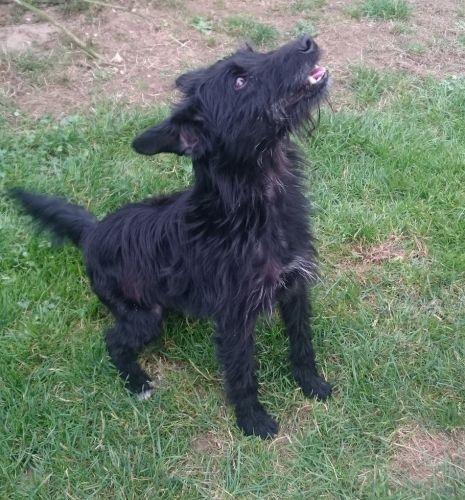 Adoption de fox petit chien chien crois petite race for 3f haute normandie