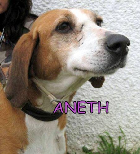 ANETH - anglo 10 ans -(3 ans de refuge)  Spa de Carcassonne (11) 500_023e6566e2120d0a017cb0b32d048f85
