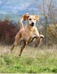 KENAWA  -  x labrador/levrier 12 ans - Spa Vauclusienne à L'Isle sur Sorgue (84) 500_266e57fc20a07fa48b5ddc6fbd079f88