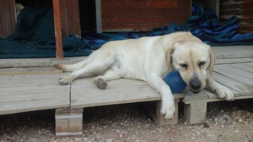 POLKA - labrador 7 ans - ASCPA à Perpignan (66) 500_ec5e0d81cc11f09cd0cdc2d2d20add05