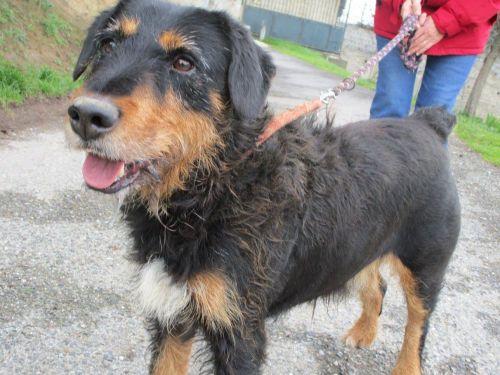 SALVADOR - x jagd terrier  11 ans   (4 ans de refuge) - Spa de Carcassonne (11) 500_1076069c54489a29995d26188247754e
