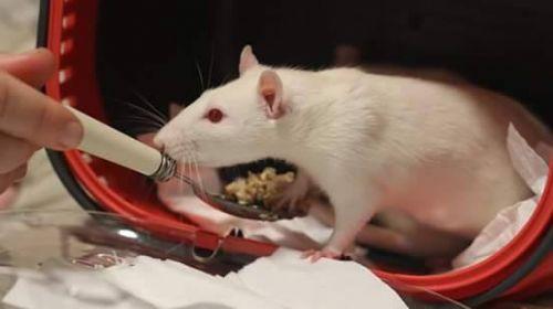 Jeune rat M