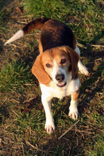 TARA - beagle 11  ans  (8 ans de refuge) - Aide Vieux Animaux  Cuy St Fiacre (76) 500_21ab9e62ecfa925e708fc03b3fdbd57f