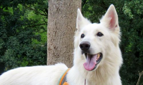 Adoption De Exane Grand Chien Berger Blanc Suisse Region Midi