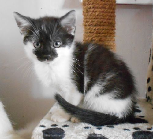 adoption de nary petit chat chat domestique poil mi long r gion nord pas de calais. Black Bedroom Furniture Sets. Home Design Ideas