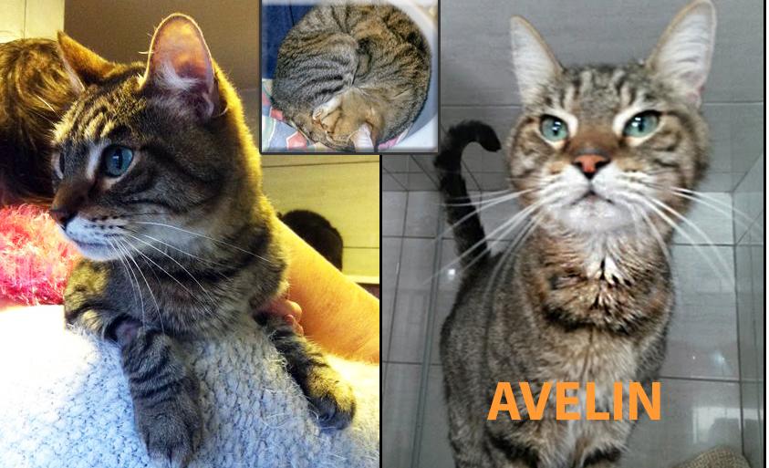 Avelin, adorable chat tigré de 5 ans cherche une famille d'accueil dans le Val d'Oise