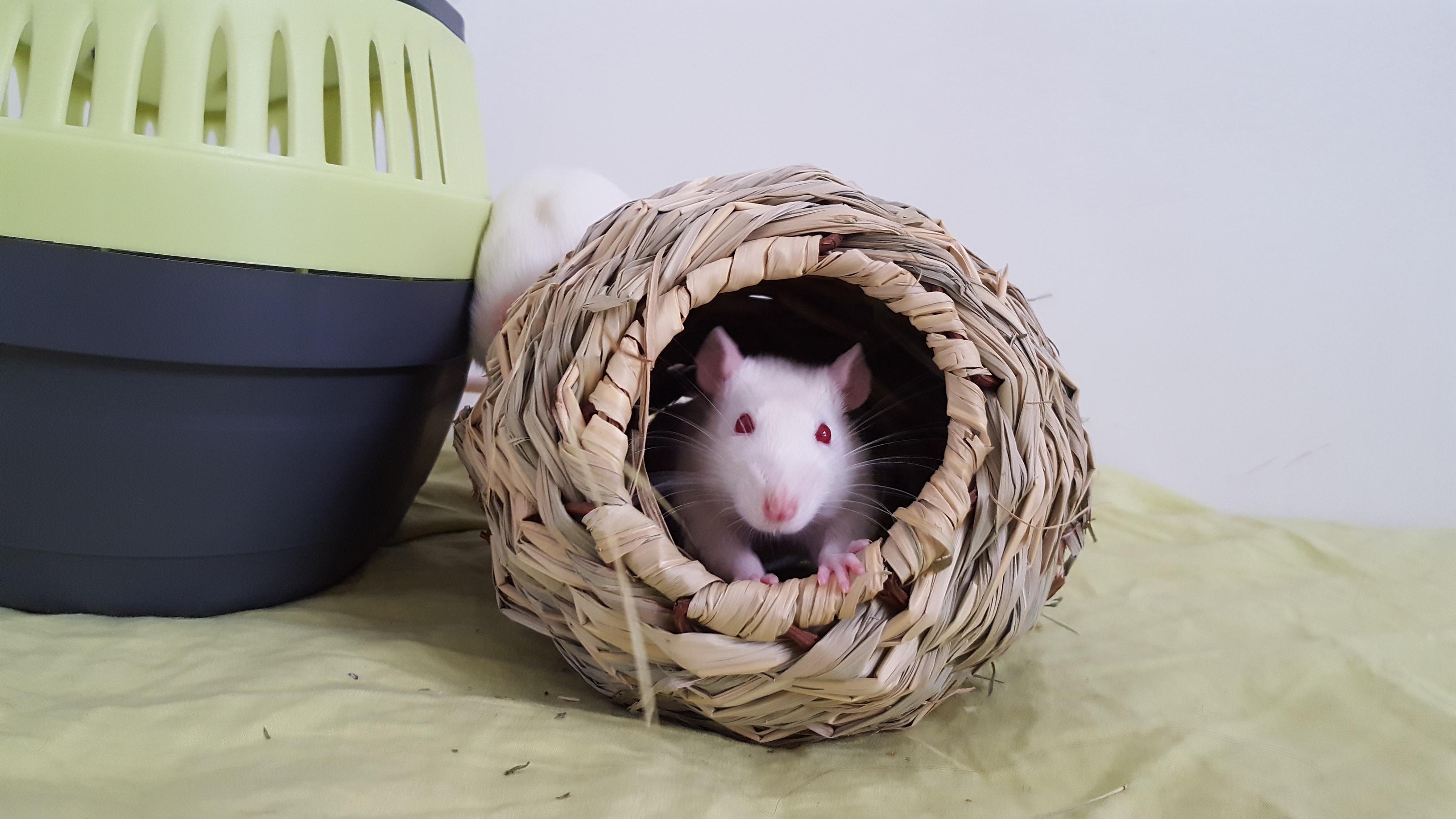 URGENT : cherche FA pour sortir des rats de laboratoire (région parisienne)
