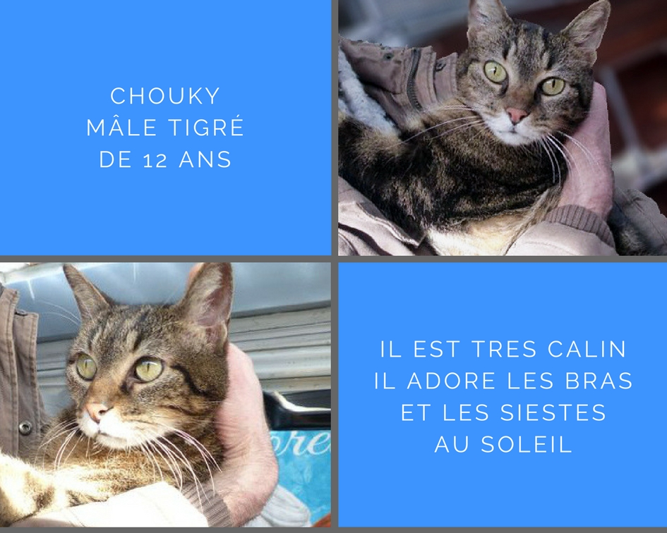 Chouky chat tigré de 12 ans très câlin cherche une famille d'adoption