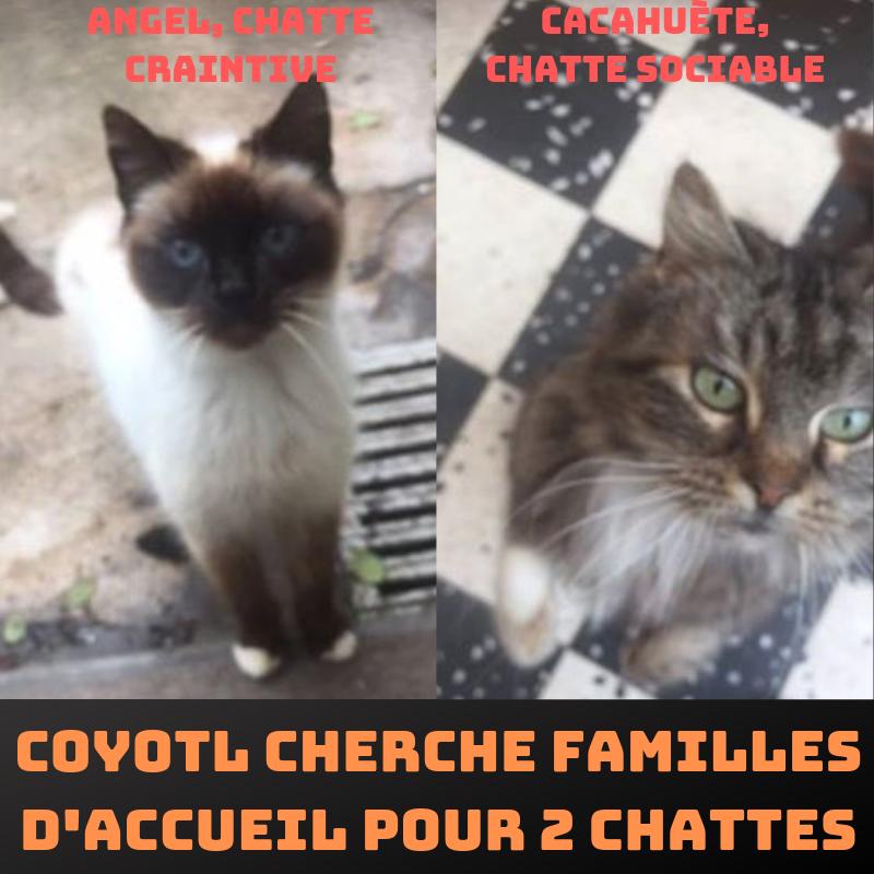 Urgence : Coyotl cherche une ou deux FA pour chattes