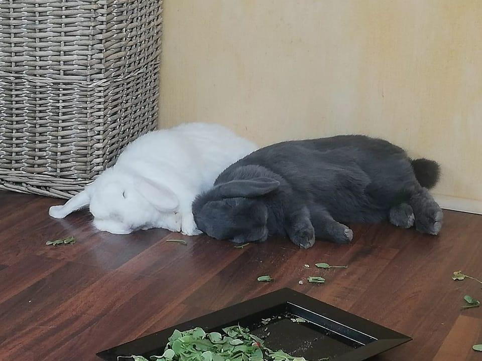 NEMA et KOANGA (lapins) cherchent une famille d'accueil en IDF