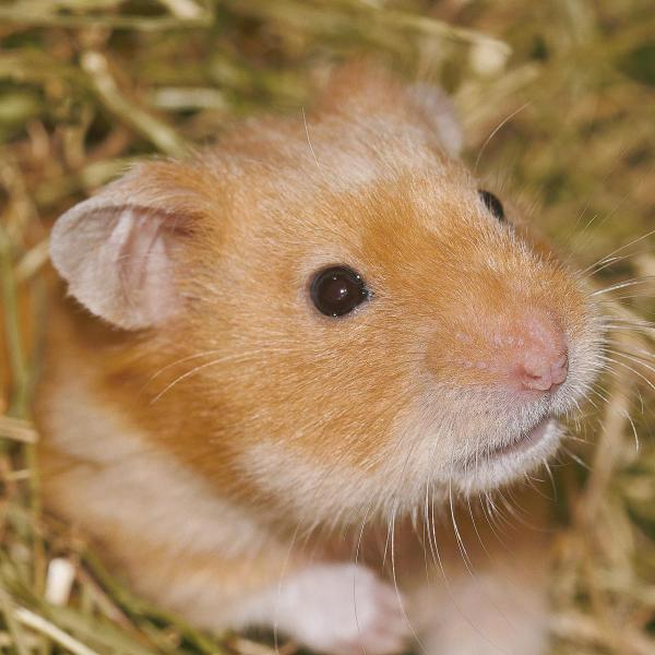 La reproduction du hamster